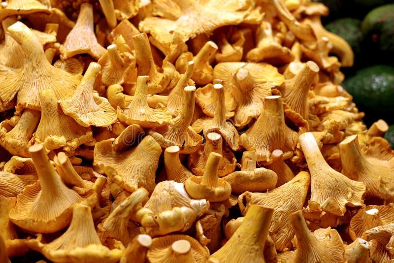 Os cogumelos das primas são frutados e peppery imagem de stock royalty free