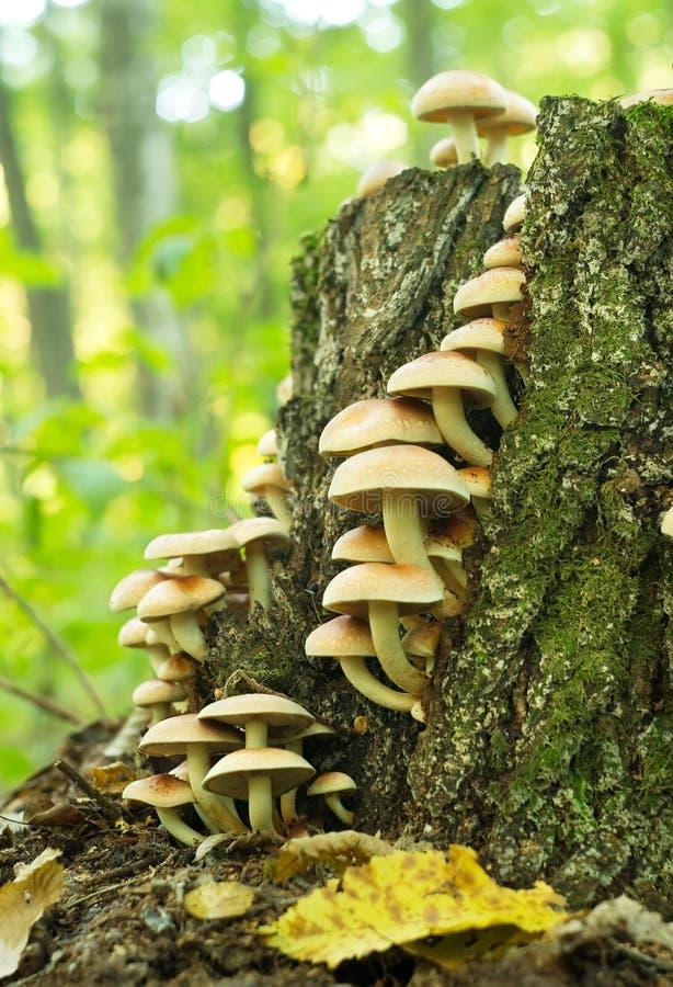Os cogumelos estão crescendo em um coto na floresta fotos de stock