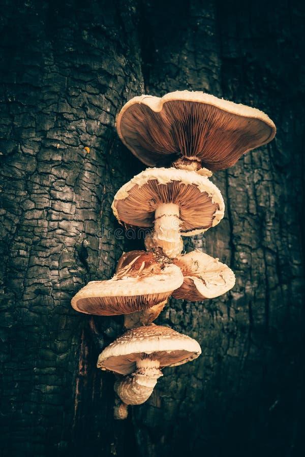 Os cogumelos misteriosos crescem no tronco de ?rvore queimado, conceito do Dia das Bruxas, vista vertical foto de stock