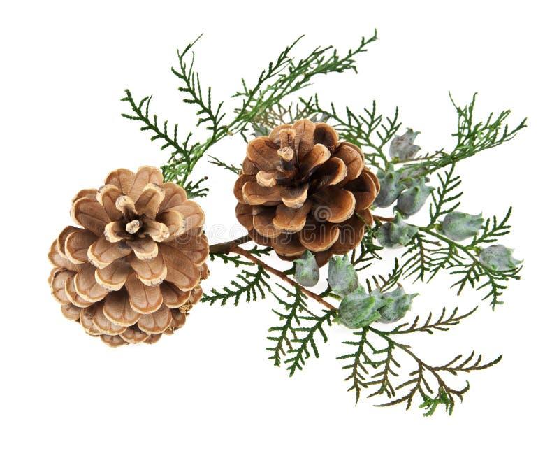 Os cones e o ramo de uma árvore fotografia de stock royalty free