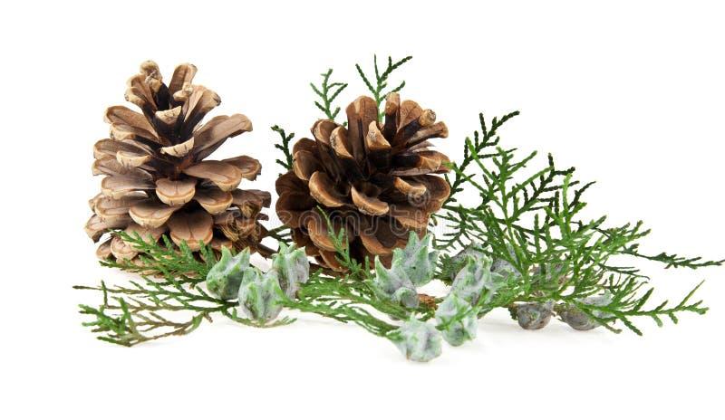 Os cones e o ramo de uma árvore fotos de stock royalty free