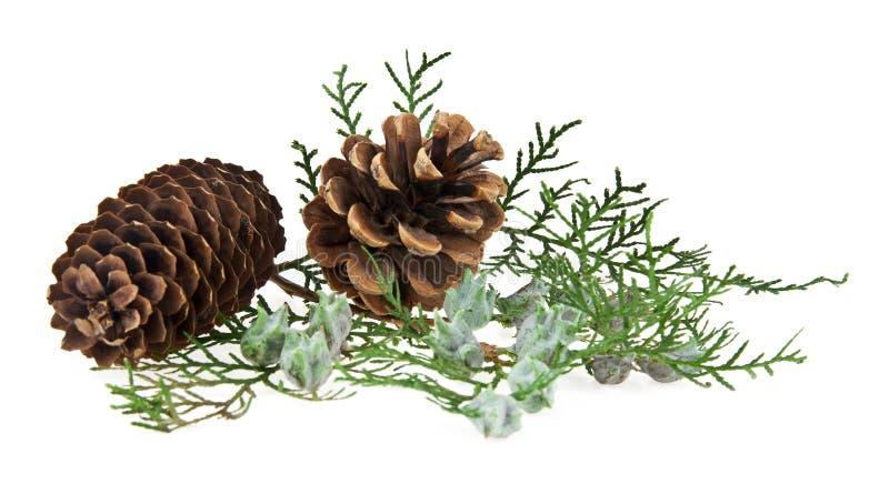 Os cones e o ramo de uma árvore imagens de stock