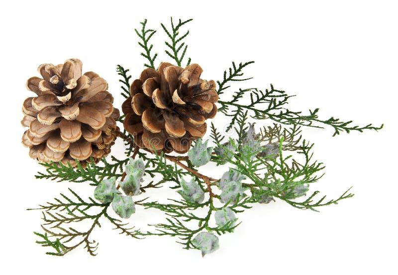 Os cones e o ramo de uma árvore fotografia de stock