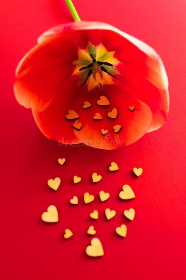Os corações de madeira pequenos voam fora de uma tulipa vermelha contra um fundo vermelho Dia Vbanneralentine Conceito do amor Pr foto de stock