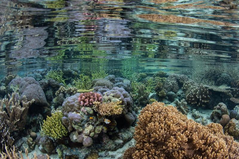 Os corais coloridos espelharam na água calma em Raja Ampat fotografia de stock