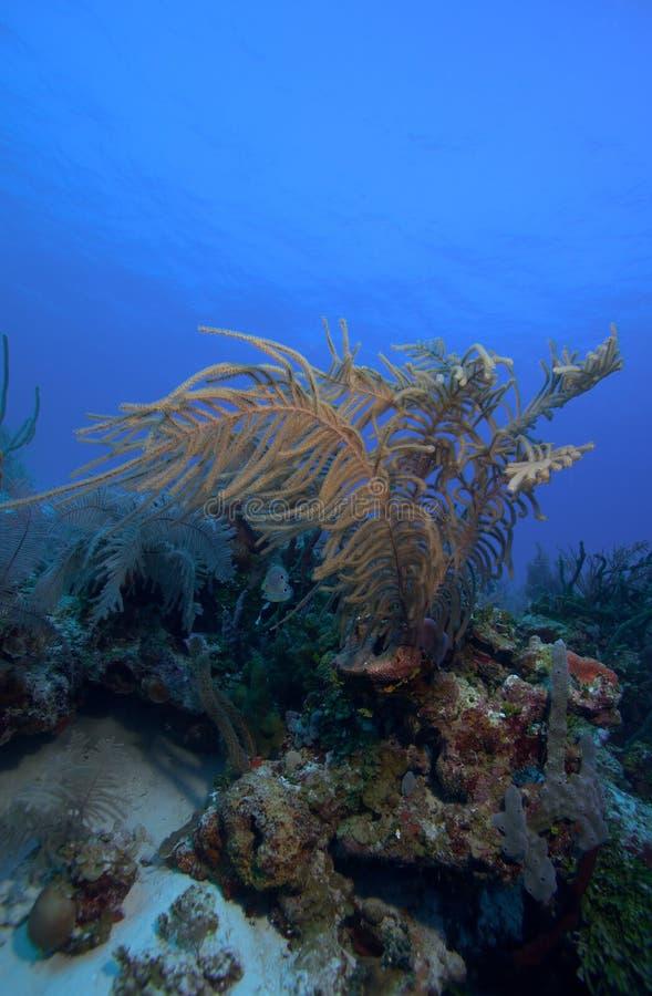 Download Os Corais Macios Aproximam O Largo De Cayo, Cuba Foto de Stock - Imagem de oceano, recreacional: 26512814
