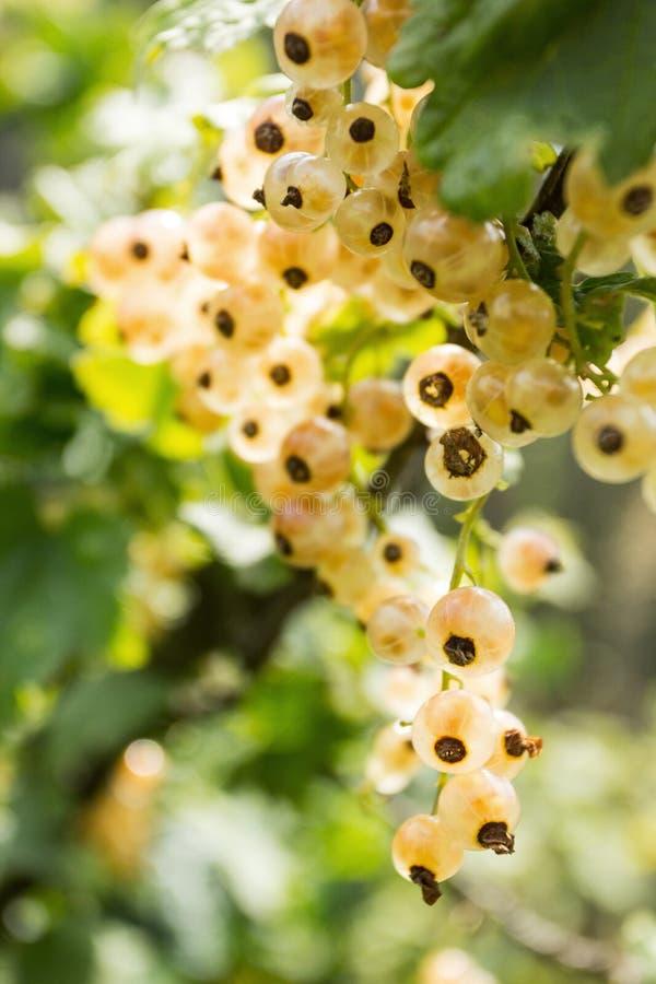 Os corintos brancos crescem no arbusto Bagas org?nicas e naturais imagens de stock royalty free