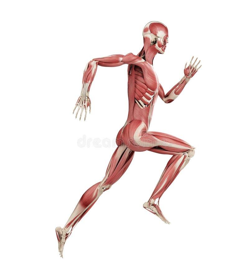 Os corredores muscles ilustração stock