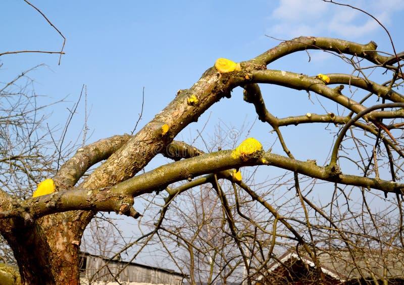 Os cortes dos ramos de uma ?rvore de fruto s?o processados pelo ladr?o do jardim A mola funciona em um jardim imagem de stock