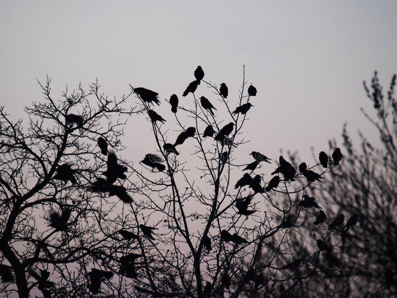 Os corvos fotos de stock