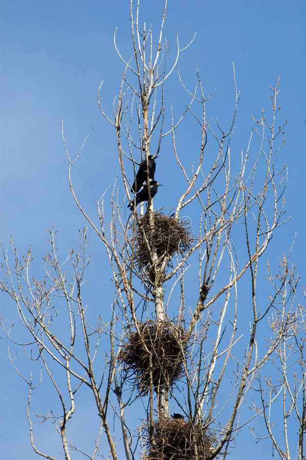Os corvos aproximam ninhos em uma árvore fotografia de stock royalty free