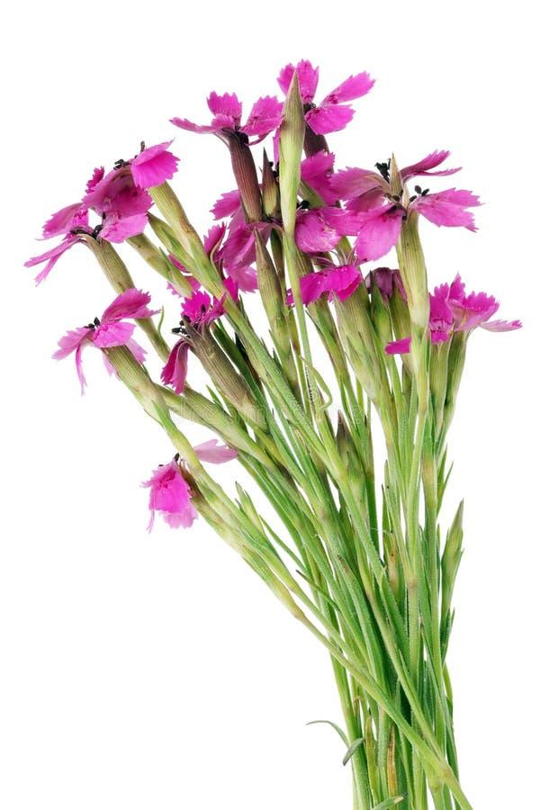 Os cravos cor-de-rosa diminutos selvagens do campo florescem em um micro ramalhete fotografia de stock royalty free