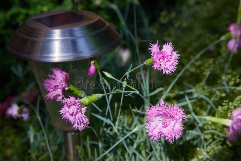 Os cravos cor-de-rosa pequenos adornam nas folhas verdes imagens de stock