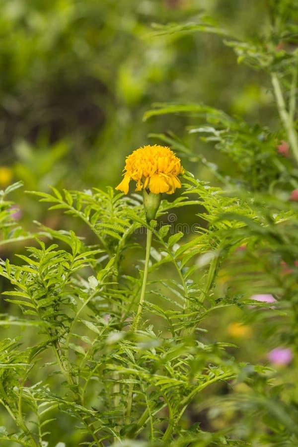 Os cravos-de-defunto amarelos florescem o ereta de Tagetes, cravo-de-defunto mexicano, asteca fotografia de stock