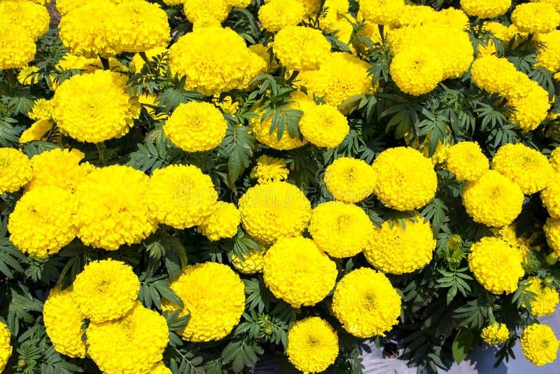 Os cravos-de-defunto amarelos florescem o ereta de Tagetes, cravo-de-defunto mexicano, asteca imagens de stock royalty free