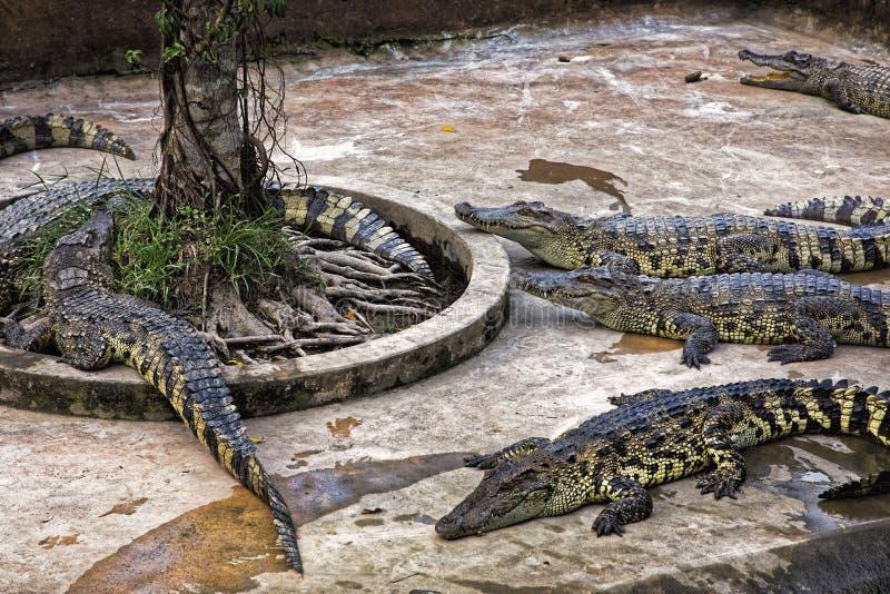 Os crocodilos Siamese no crocodilo cultivam no delta de Mekong, Vietn imagem de stock royalty free