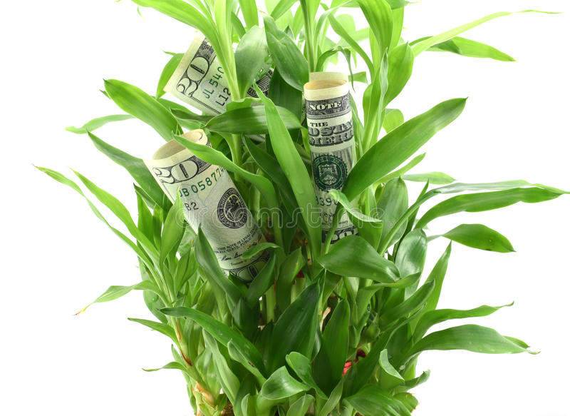 Os dólares americanos nas folhas da planta verde, conceito de obter dividendos ou retornos de seu dinheiro, investem-no para o me fotos de stock royalty free