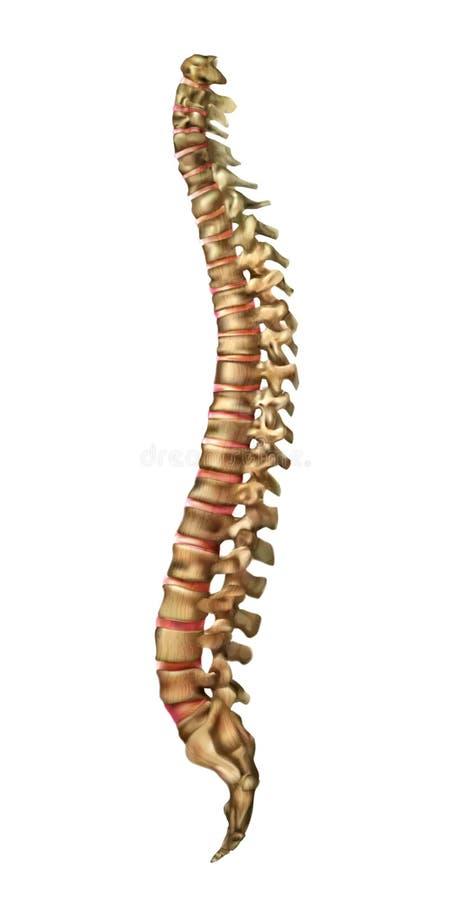 Os d'épine et articulations humains d'épine dorsale illustration libre de droits