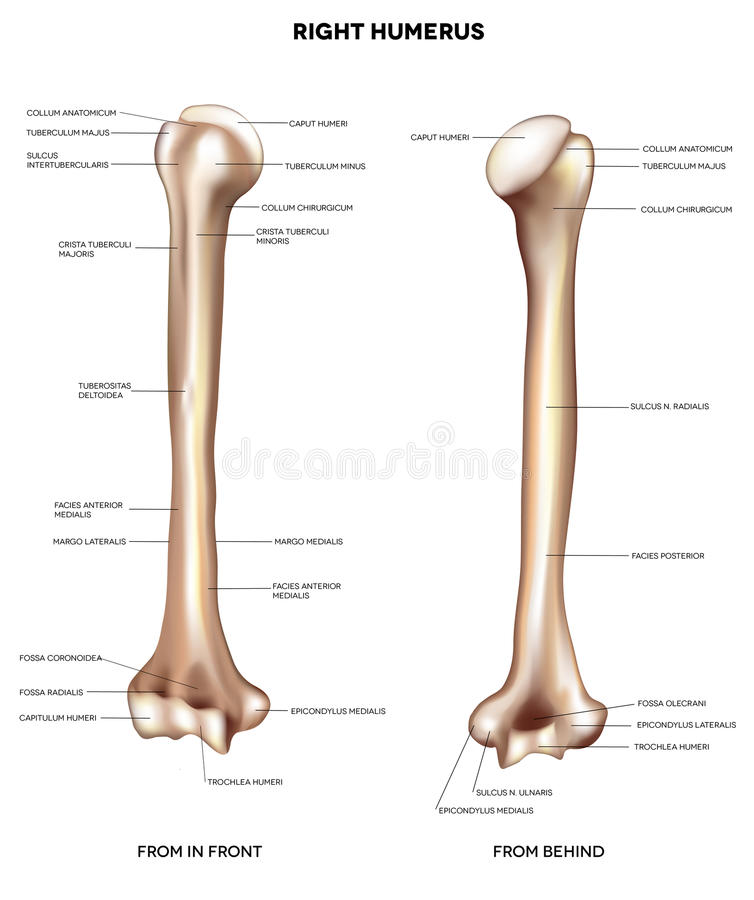 Os de bras d'humérus illustration stock