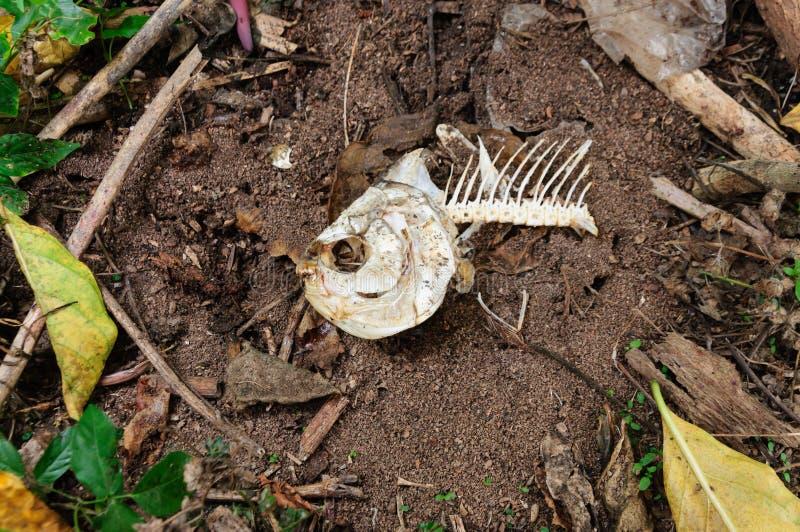 Os de poissons sur le plancher images libres de droits