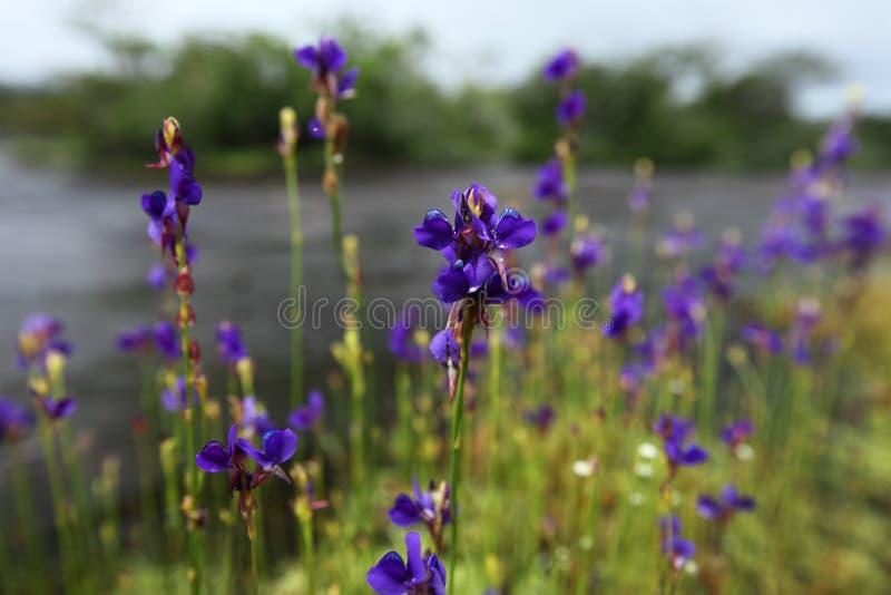 Os delphinioides insetívoros do Utricularia da planta são Na de florescência fotos de stock royalty free