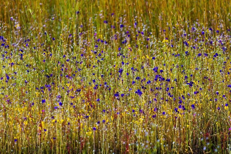 Os delphinoides do Utricularia misturam a grama verde imagens de stock