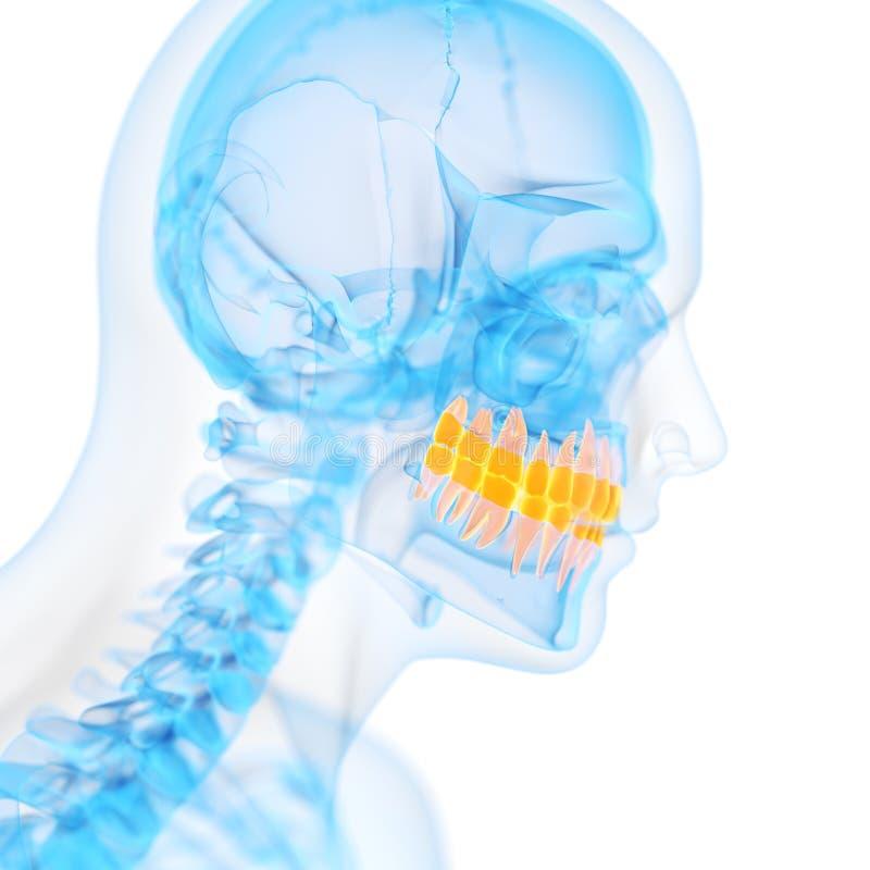Os dentes ilustração stock