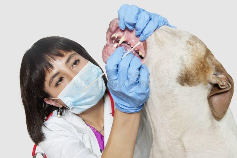 Os dentes de cão fêmeas da limpeza do veterinário sobre o fundo cinzento foto de stock royalty free