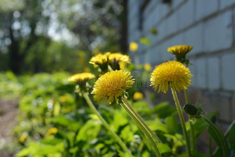 Os dentes-de-leão amarelos crescem perto da casa de campo no jardim da mola foto de stock royalty free