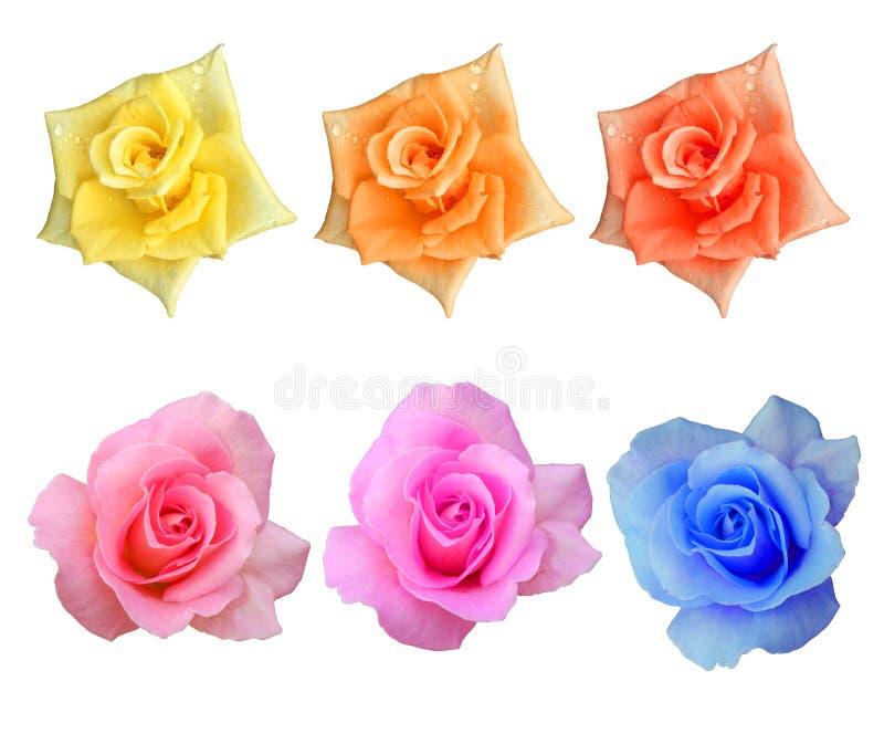 Os Di cortaram rosas florescem no fundo branco fotografia de stock royalty free