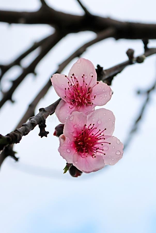 Os dulcis cor-de-rosa macios do prunus da flor da amêndoa fecham-se acima em Larnaca, Chipre fotos de stock