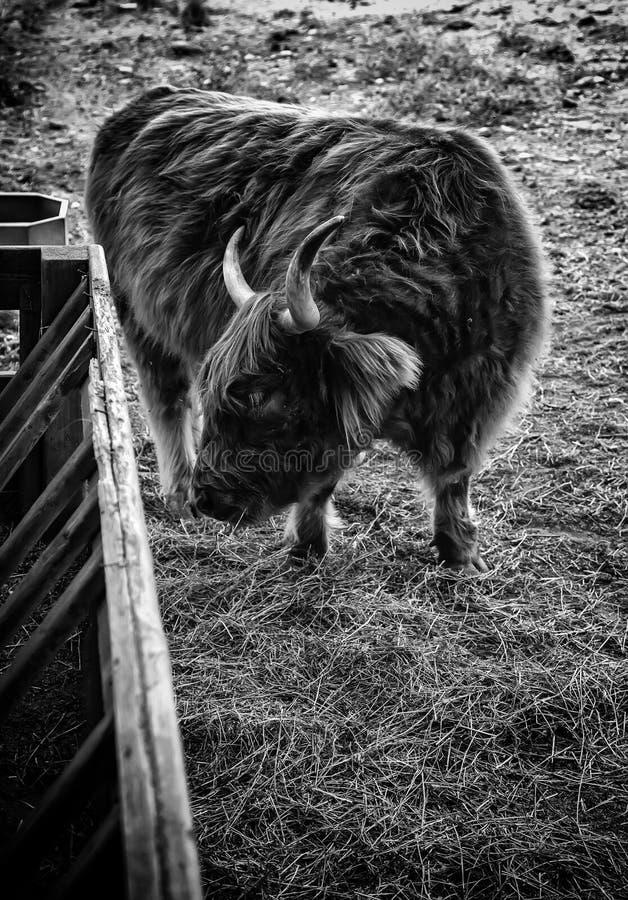 Os in een landbouwbedrijf stock fotografie