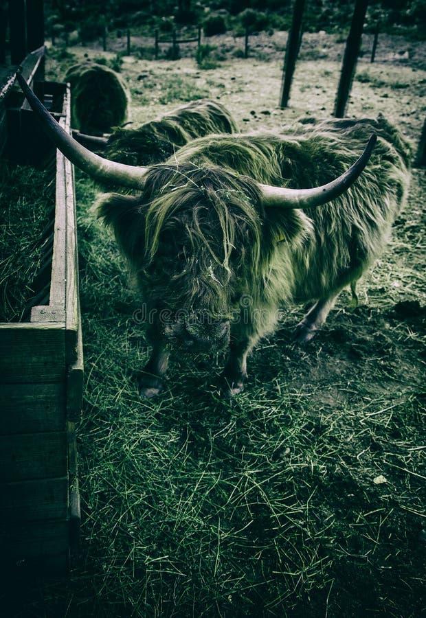 Os in een landbouwbedrijf royalty-vrije stock foto