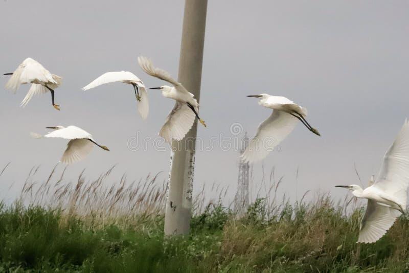 Os Egrets obtidos travaram e fizeram uma corrida para ela imagens de stock