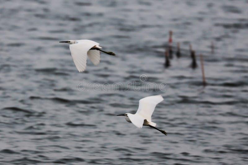 Os Egrets obtidos travaram e fizeram uma corrida para ela imagem de stock