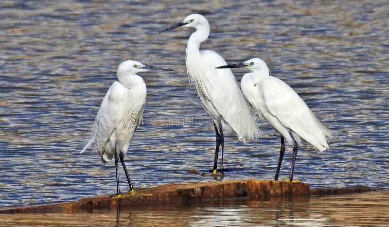 Os Egrets pequenos em águas afiam foto de stock royalty free