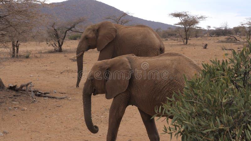Os elefantes adultos africanos do rebanho atravessam a reserva árida de Samburu da terra de Brown imagens de stock royalty free