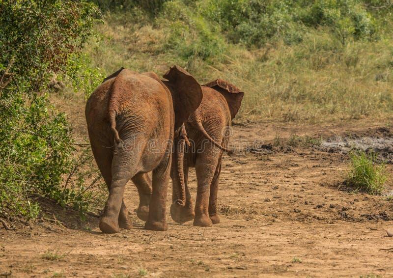 Os elefantes africanos do savana em um waterhole no iMfolozi de Hluhluwe estacionam imagens de stock