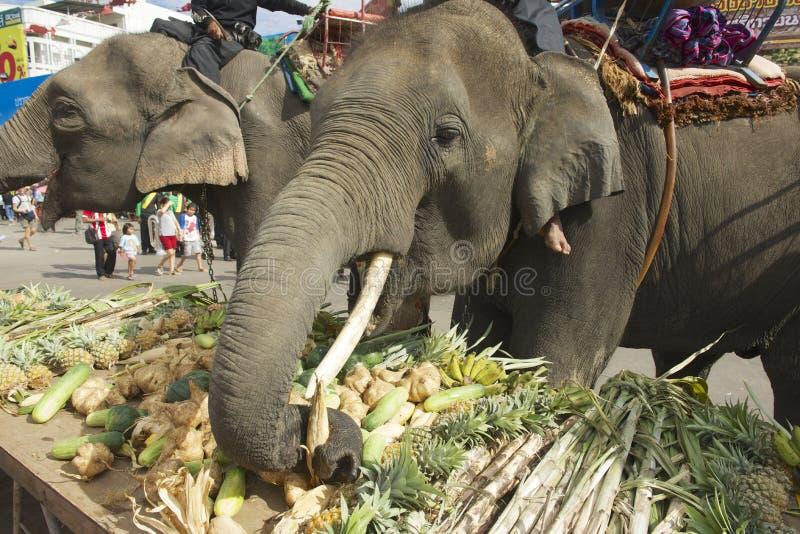 Os elefantes da alimentação dos motoristas no elefante batem em Surin, Tailândia fotos de stock royalty free