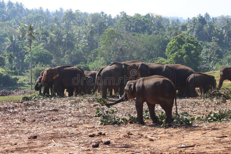 Os elefantes na caminhada imagens de stock royalty free