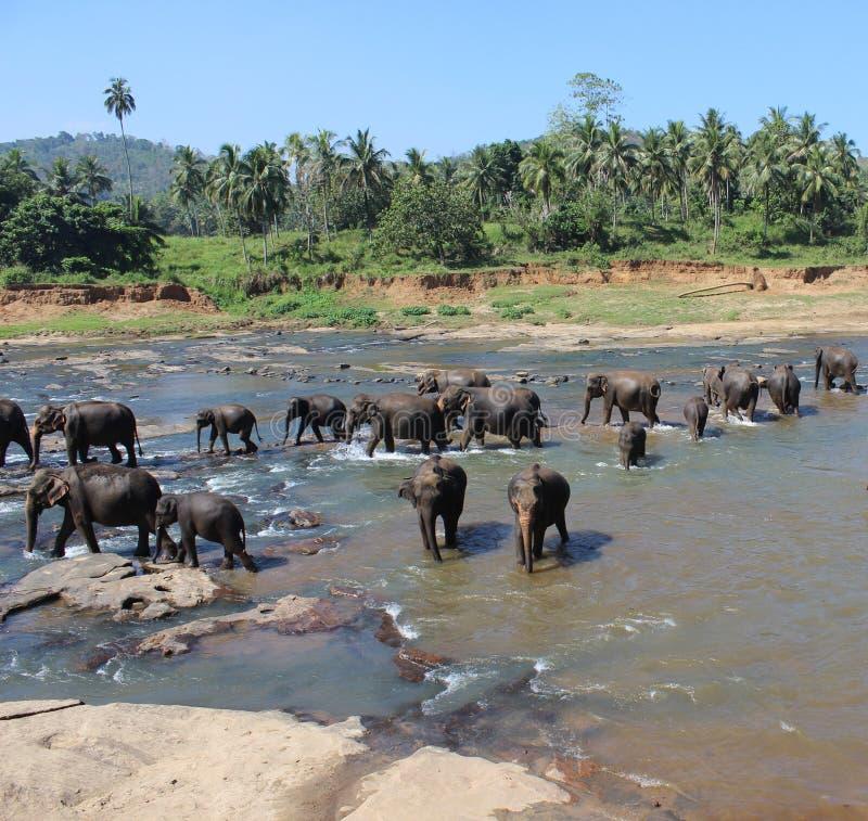 Os elefantes que banham-se imagens de stock royalty free