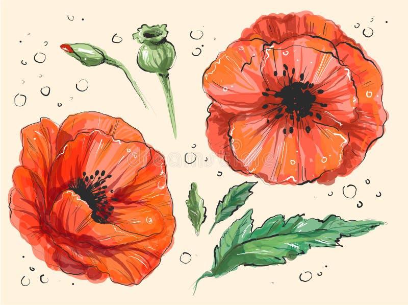 Os ema vermelhos do Papaver da papoila entregam a ilustração tirada do vetor de uma papoila vermelha na flor completa e em um bot ilustração royalty free
