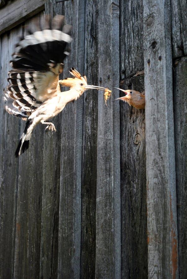Os epops do Upupa do hoopoe com grilo de toupeira voam para alimentar o filhote de passarinho imagens de stock