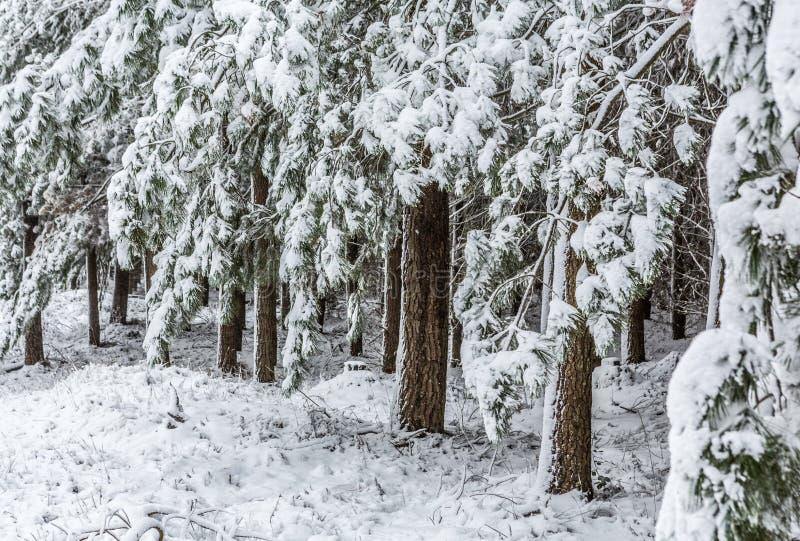 Os Evergreens cobriram na neve fresca imagens de stock royalty free