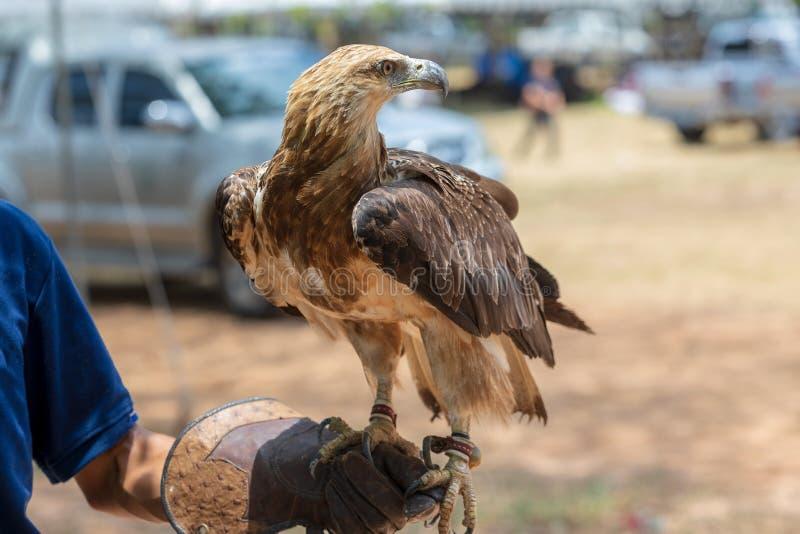 Os falcões disponível para o parque da mostra em público, e treinamento fotos de stock royalty free