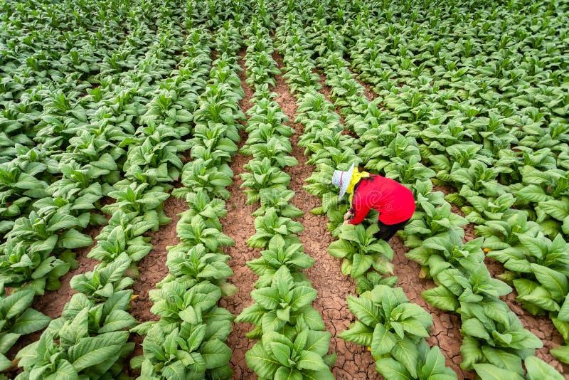 Os fazendeiros asiáticos cresciam o cigarro em um cigarro convertido que cresce no país, Tailândia foto de stock royalty free