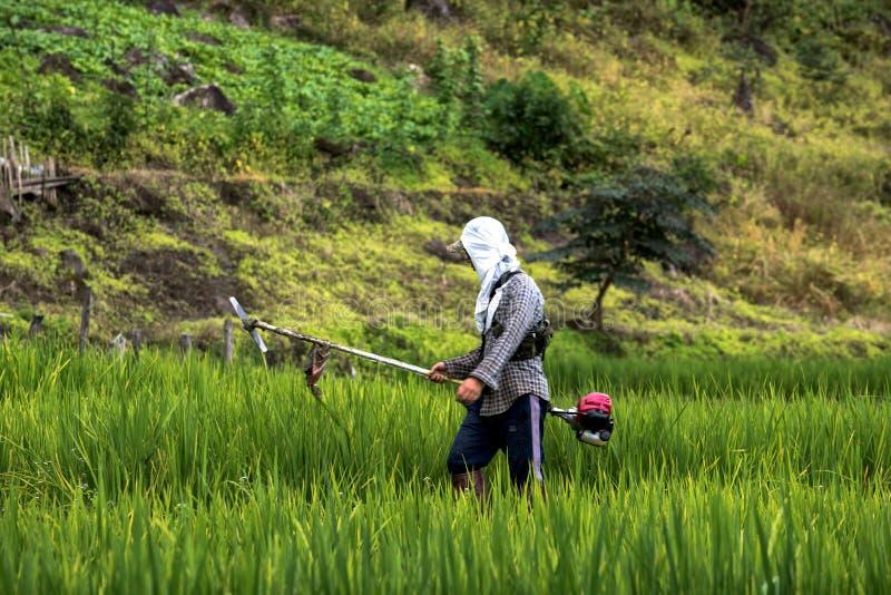Os fazendeiros asiáticos estão cortando a grama em campos do arroz imagens de stock royalty free