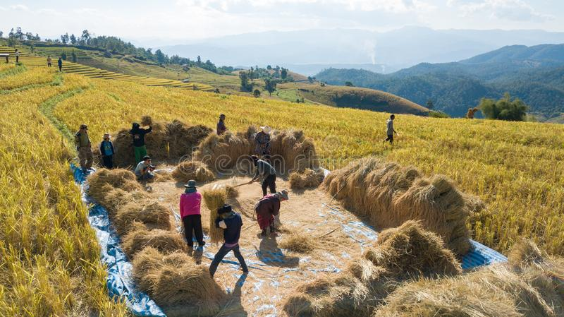 Os fazendeiros colhem a exploração agrícola do arroz com maneira tradicional foto de stock