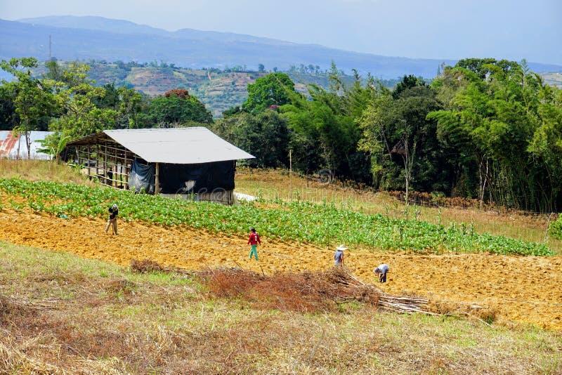 Os fazendeiros colhem o cigarro no Mesa de los Santos, Colômbia imagem de stock