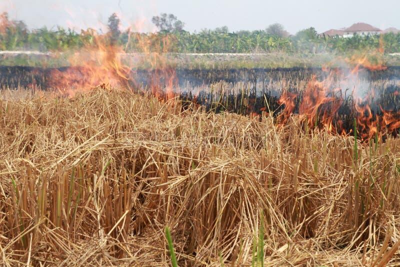 os fazendeiros consomem intencionalmente seus campos de restolho do arroz para preparar-se para o ciclo seguinte imagem de stock